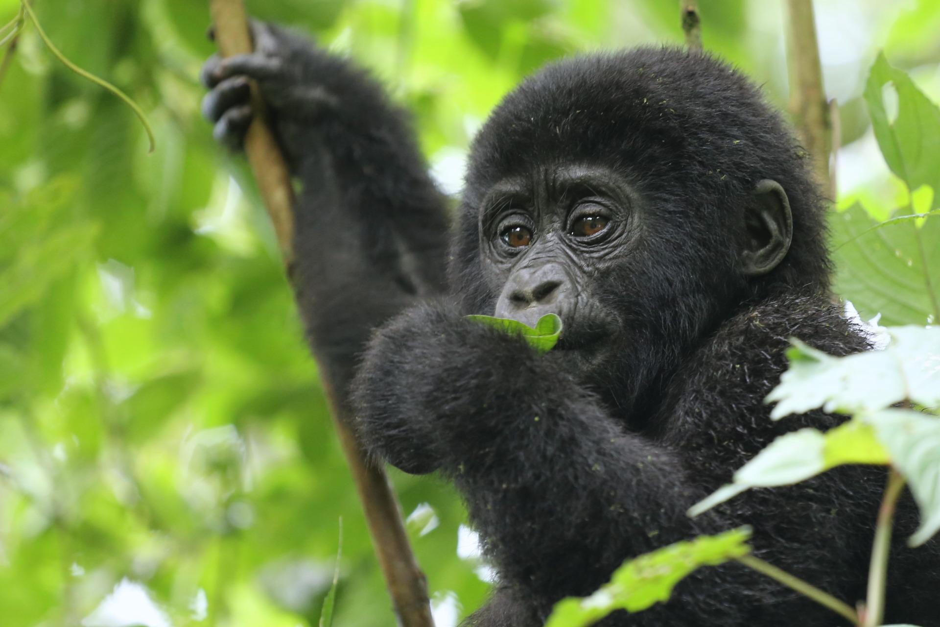 Tijdens onze reizen naar Oeganda kunt u berggorilla's zien