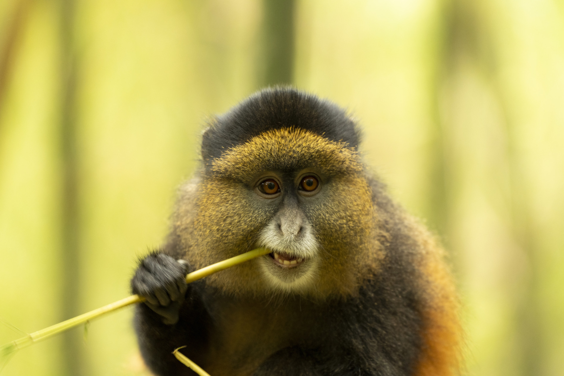 Golden Monkey Tracking, Mgahinga
