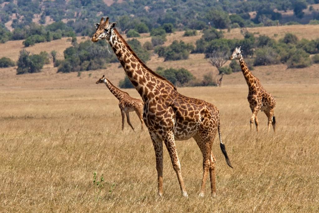 Akagera-giraffen
