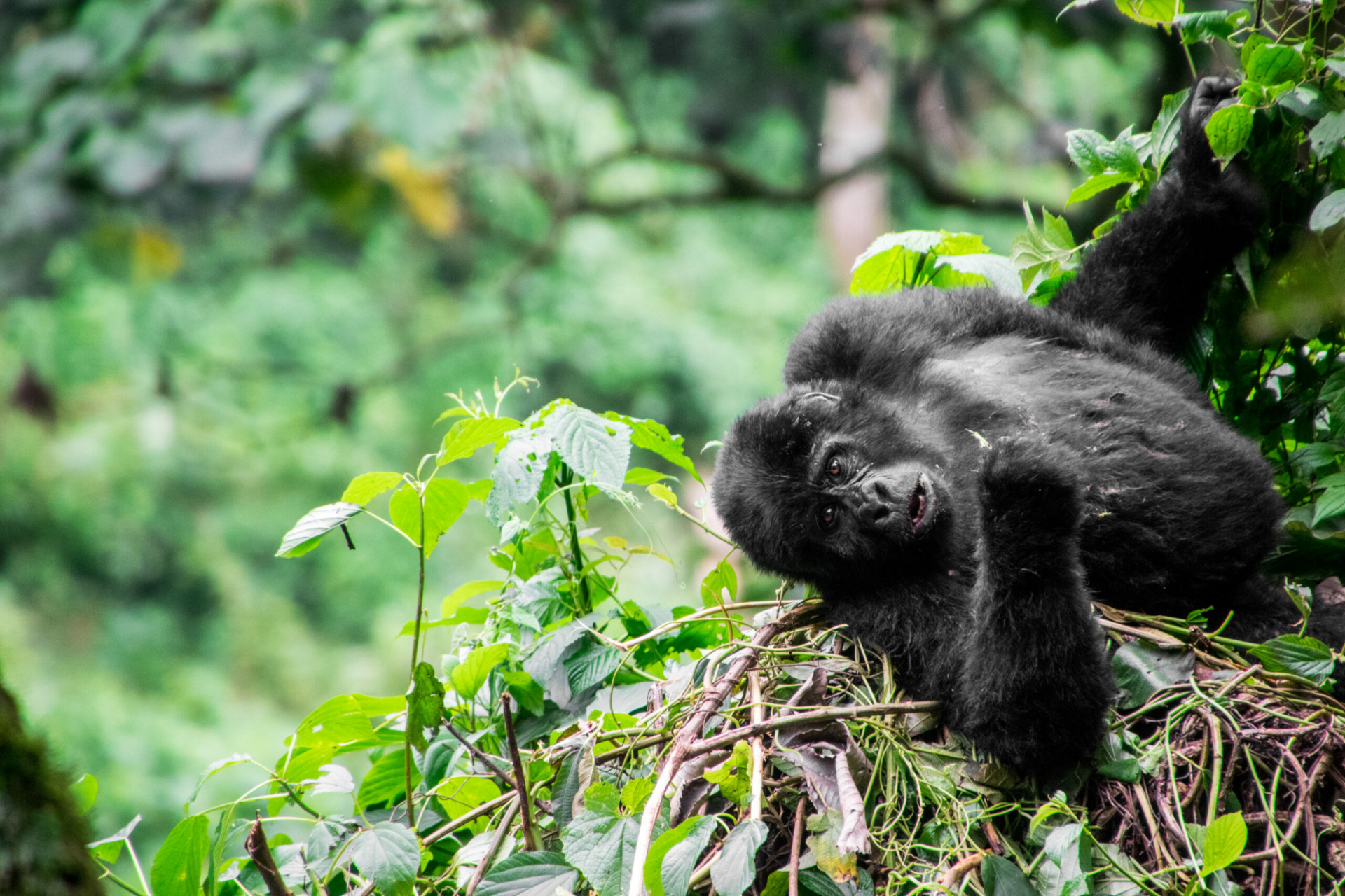 Gorilla Tracking en Gorilla Permit