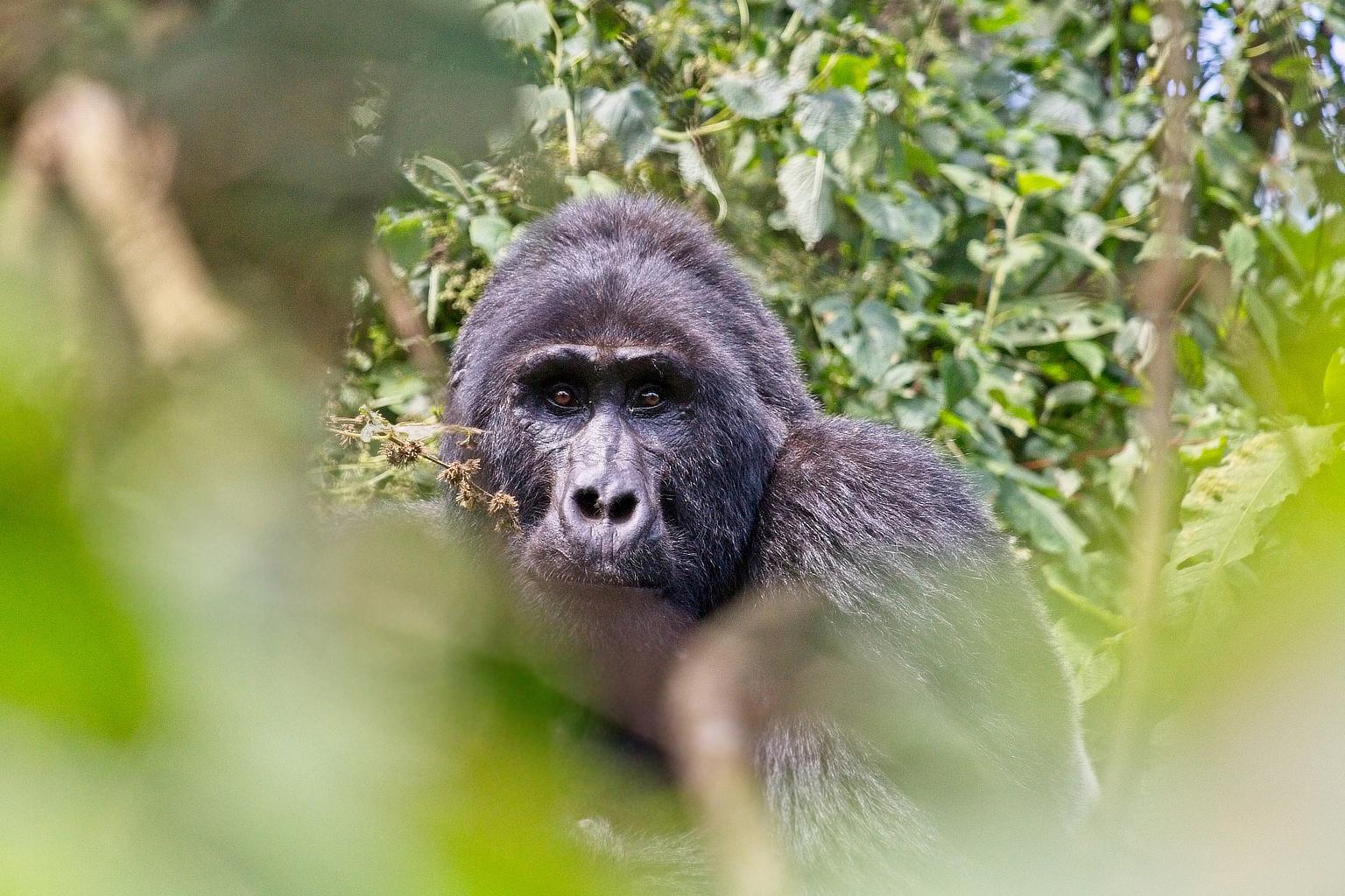 Gorilla Habituation pagina