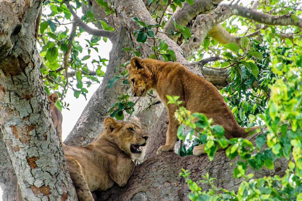 De beroemde boomklimmende leeuwen van Ishasha (foto Robbert Sanders)