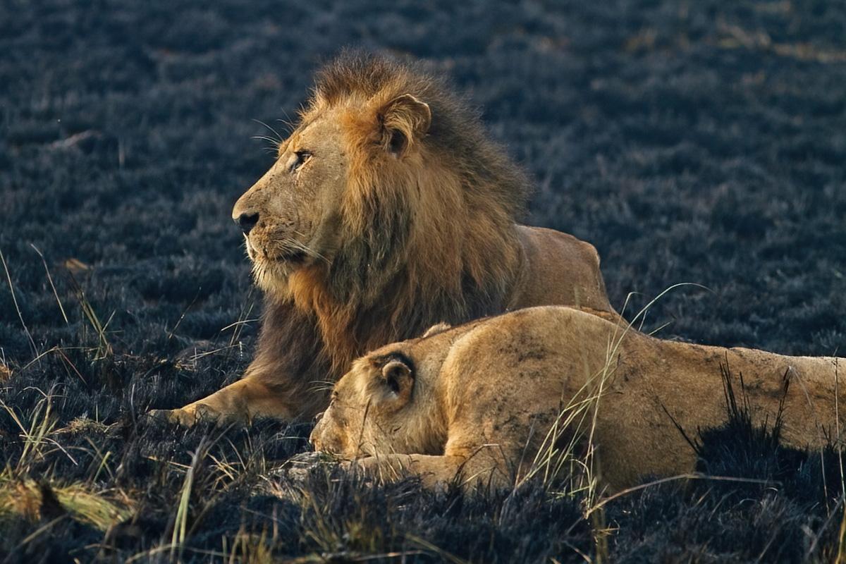 De koning met zijn koningin - Ishasha