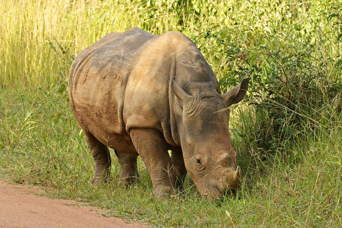 De neushoorn heeft een dikke huid die hem geschermd tegen scherpe doorns etc