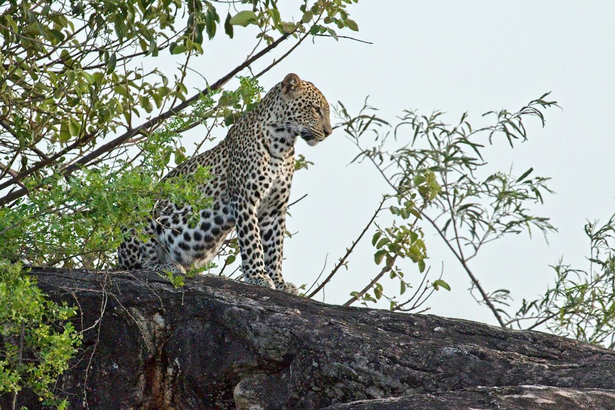 Een jong vrouwtje overziet haar jachtgebied - Kidepo Valley NP
