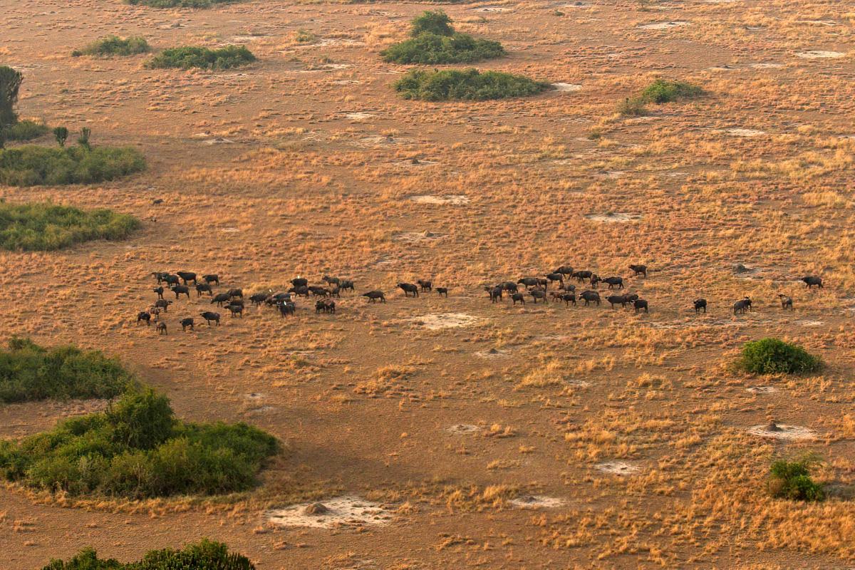 Een kudde savannebuffels, gezien vanuit een luchtballon - Queen Elizabeth NP