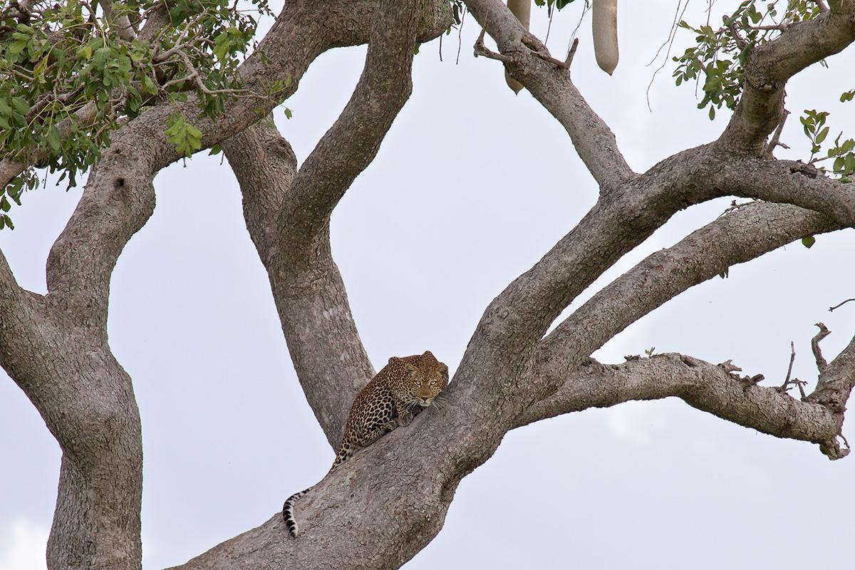 Een loerend luipaard in een worstenboom (foto Dinie Visser)