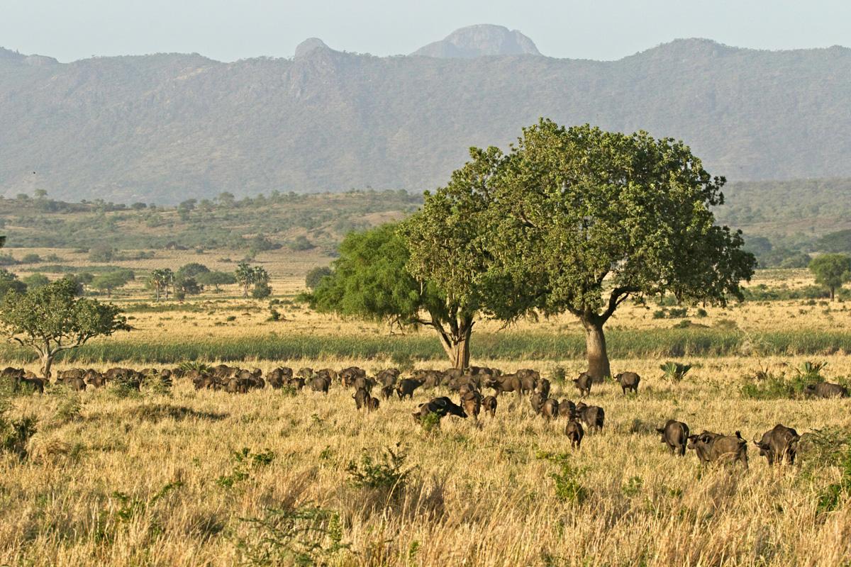 In Kidepo Valley NP komen de grootste kuddes savannebuffels van Oeganda voor