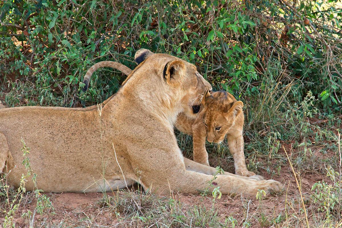 Leeuwenwelpen zijn zeer kwetsbaar - Murchison Falls NP