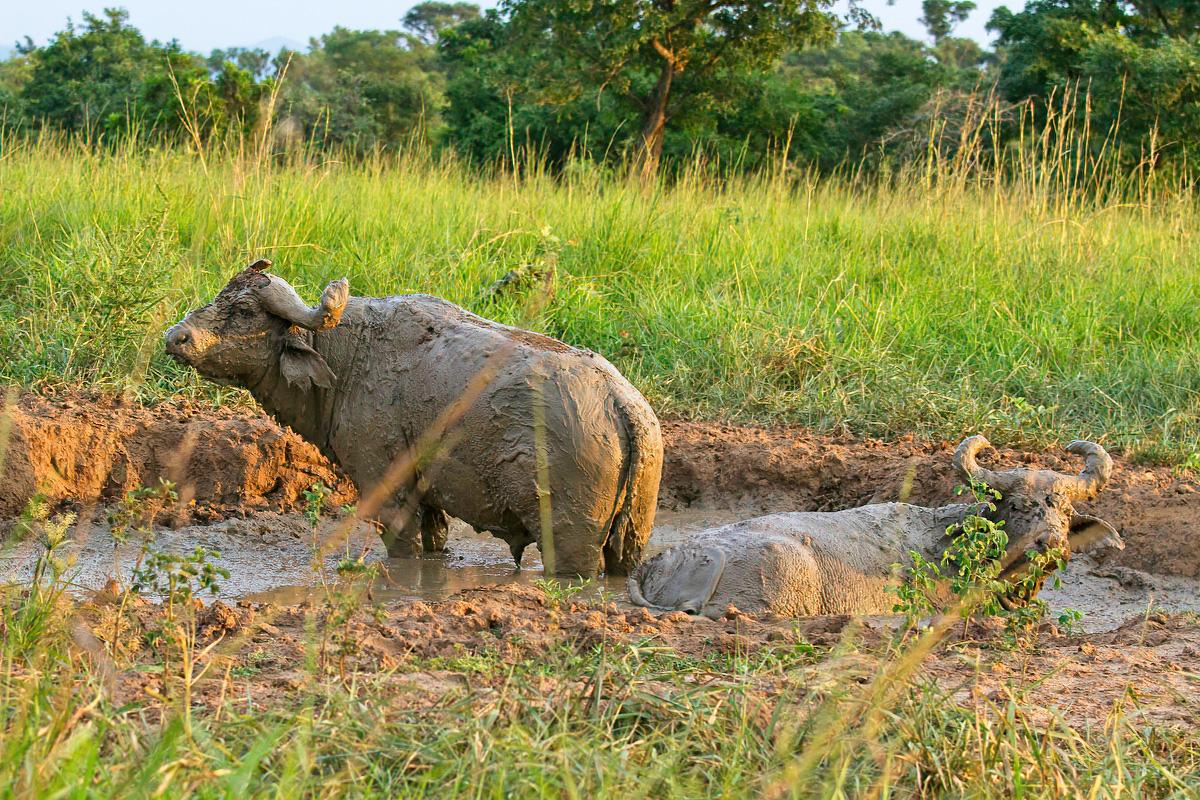 Om parasieten kwijt te raken nemen buffels graag een modderbad - Murchison Falls NP