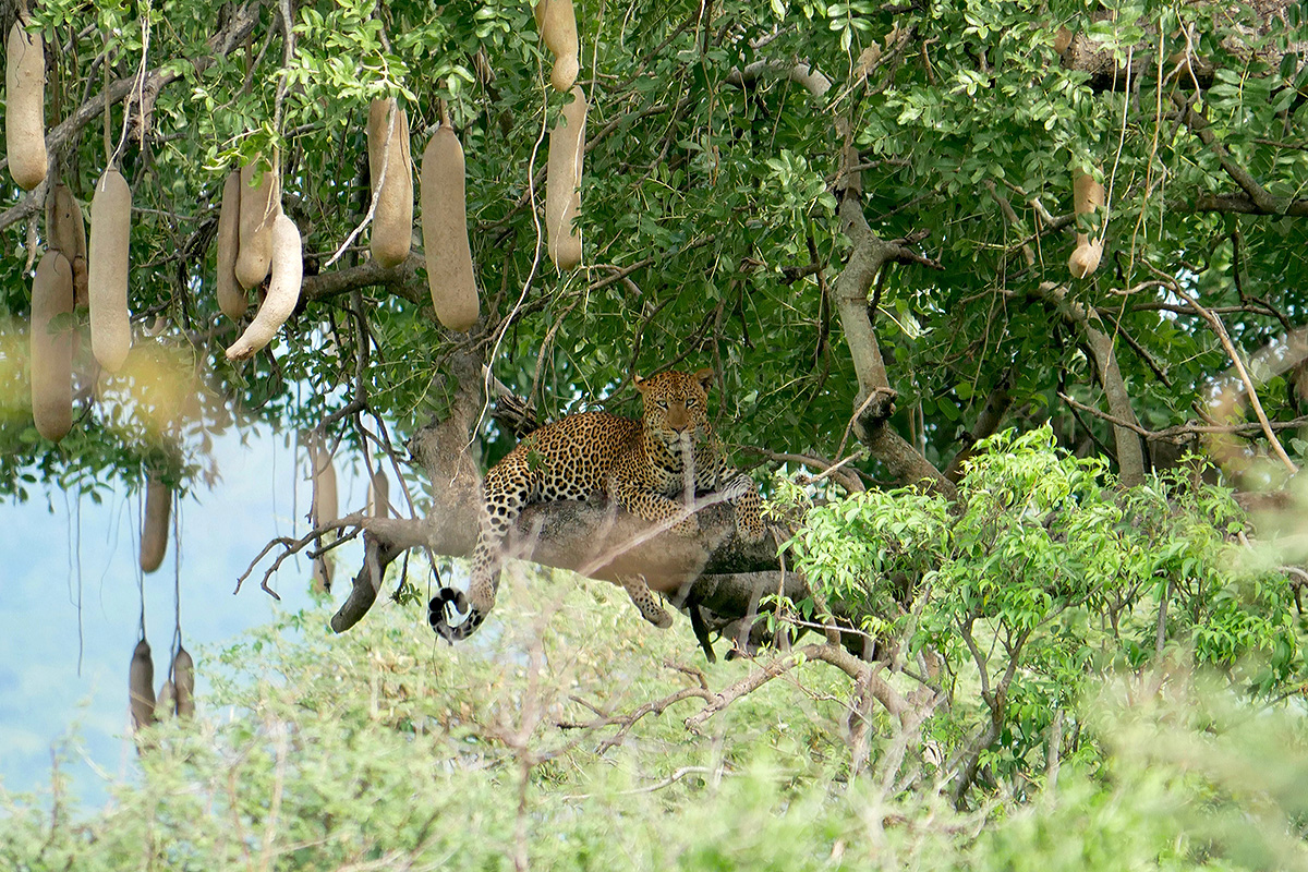 Rustend luipaard in een worstenboom (foto Inge Laan)