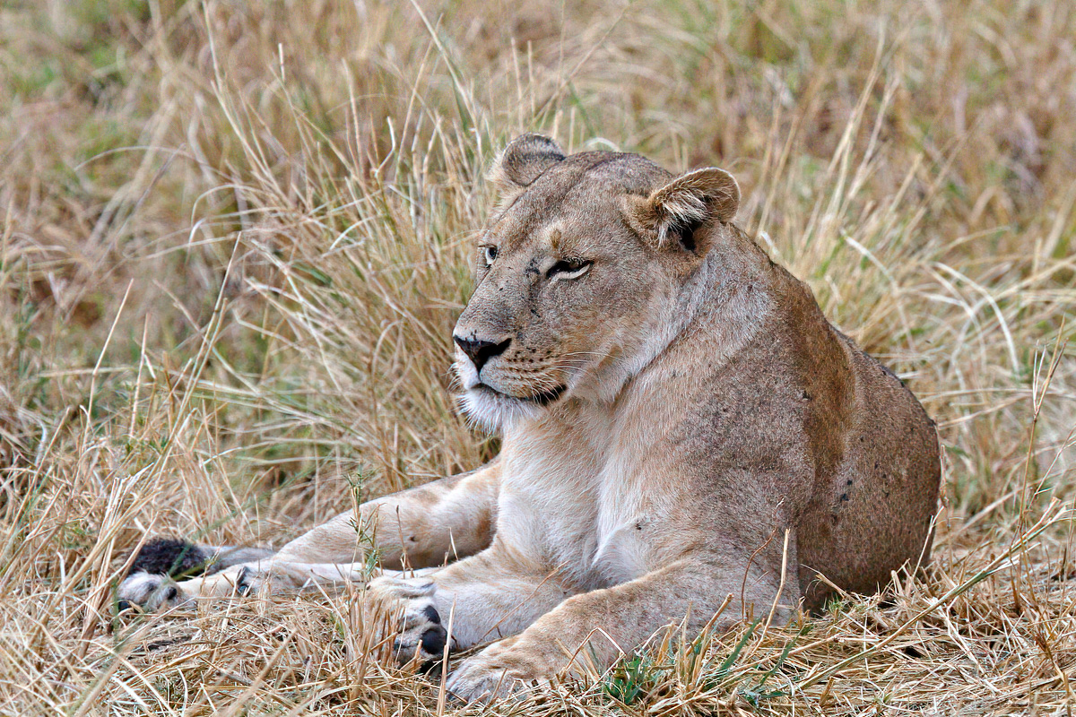 Rustende leeuwin - Kidepo Valley NP