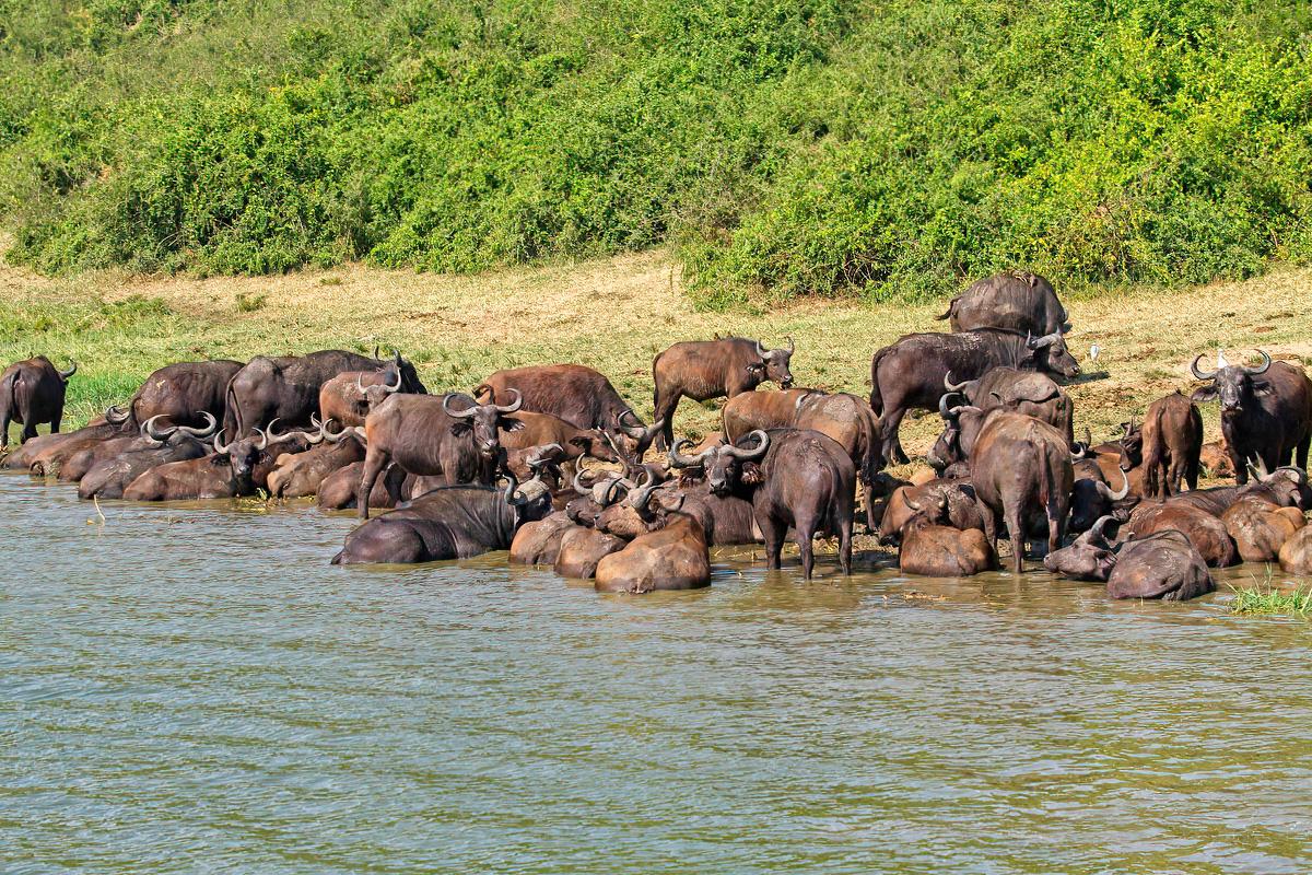 Savannebuffels zoeken verkoeling in het Kazinga Channel