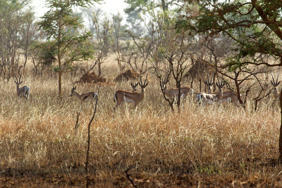 Bright's gazellen zijn altijd alert - Bogora WR