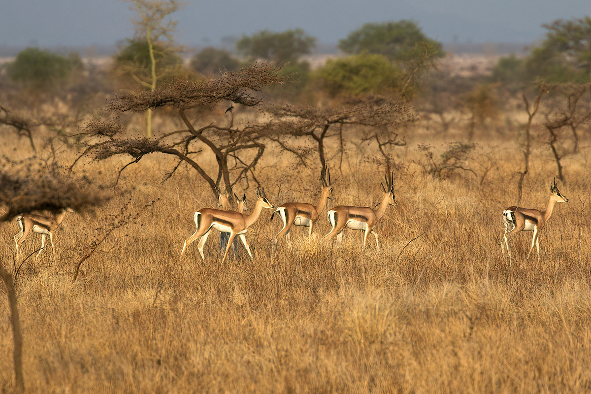 Bright's gazellen zijn prachtige, slanke gazellen - Bogora WR