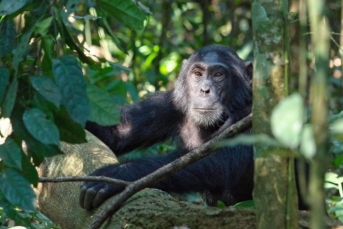 Chimpanseevrouwtje - Kibale NP