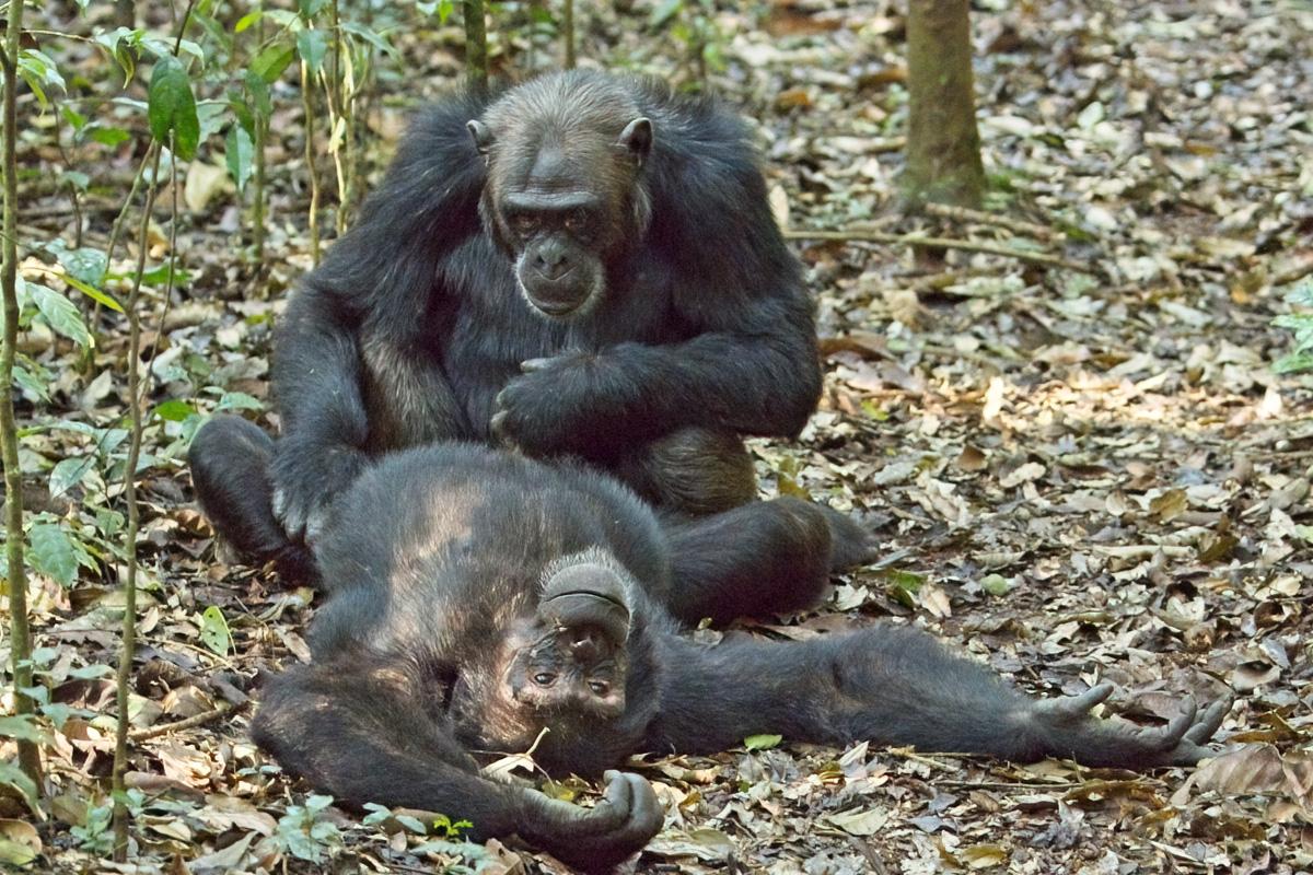 Deze volwassen chimpansees zijn bondgenoten - Kibale NP