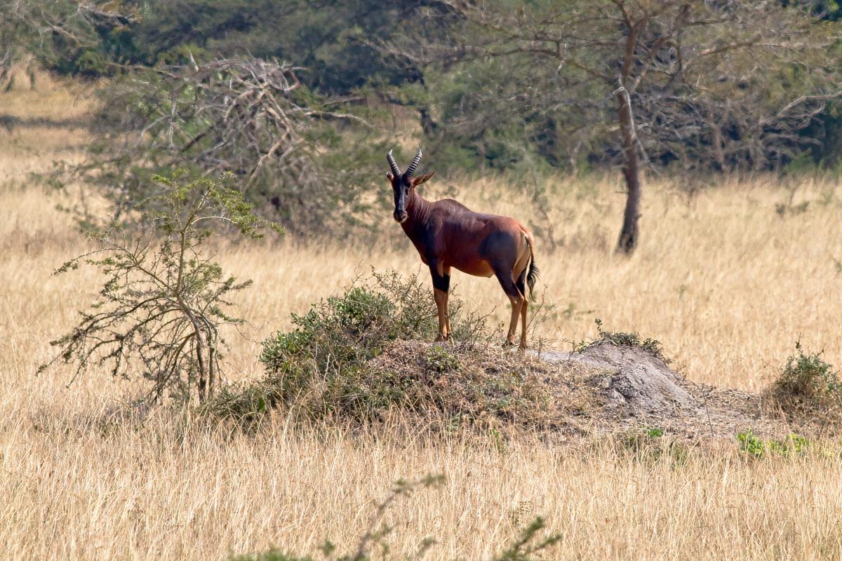 Een mannelijk topi houdt de wacht - Lake Mburo NP