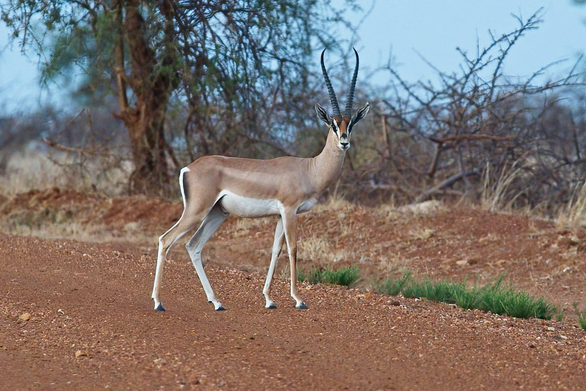 Een mannelijke Bright's gazelle steekt de weg over - Bogora WR
