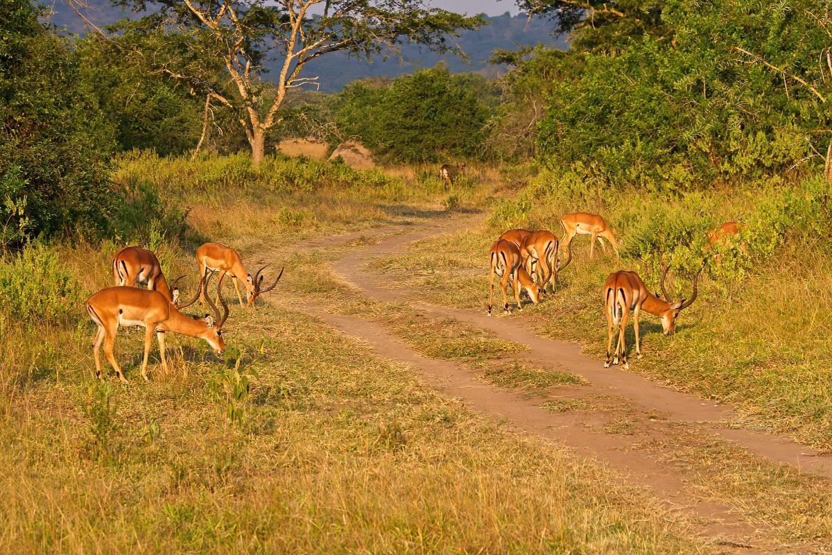 Grazende impala's - Lake Mburo NP