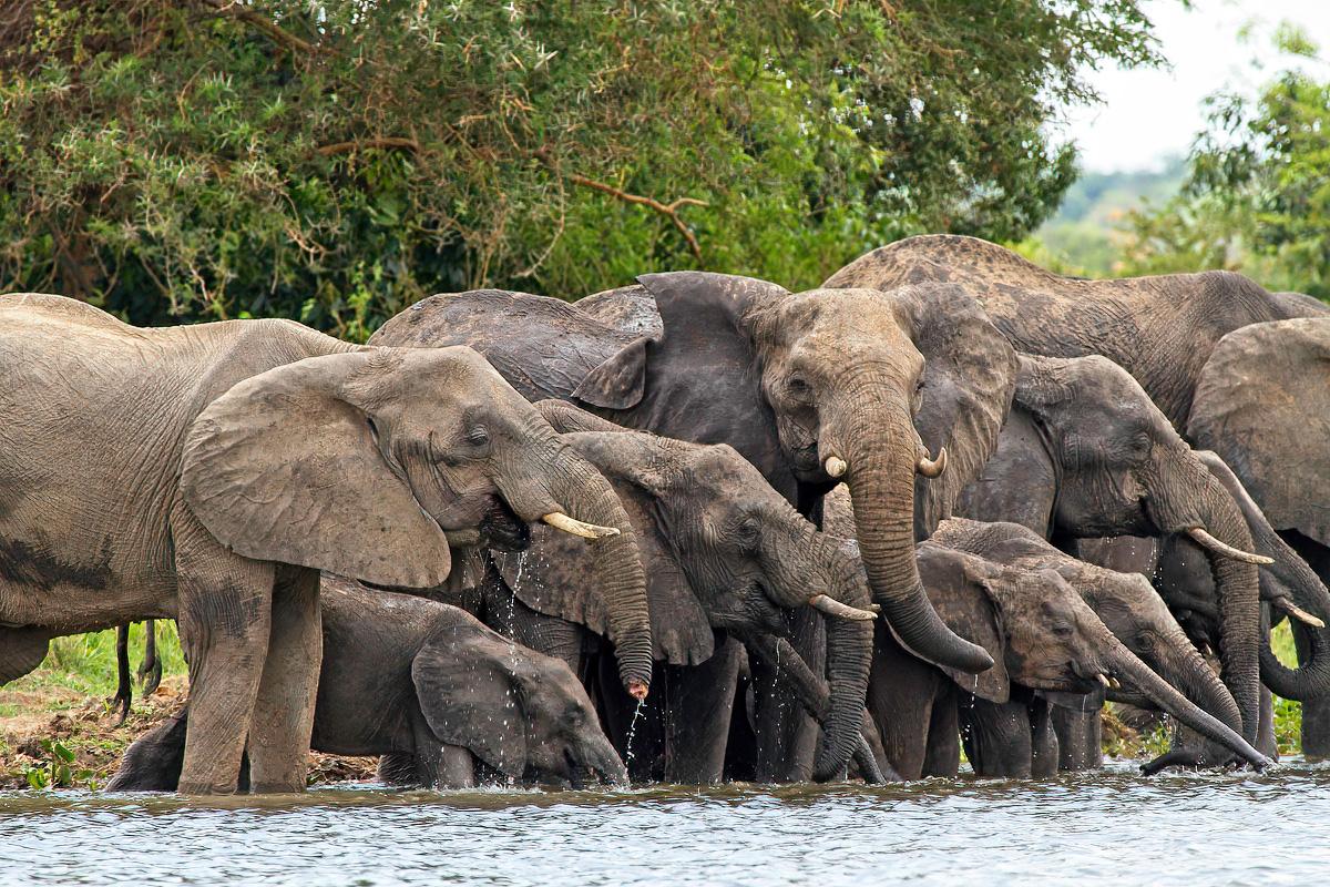 Het is een imposant gezicht om een kudde savanneolifanten te zien drinken - Murchison Falls NP