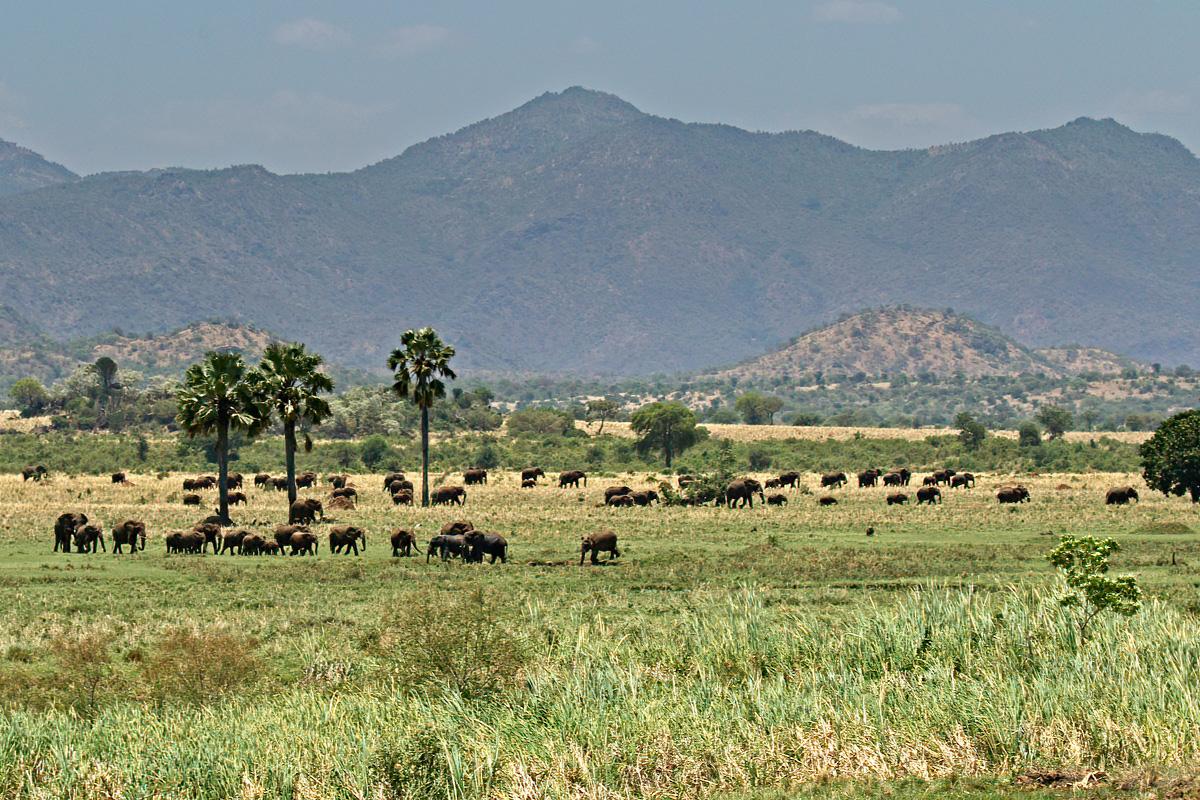 In Kidepo Valley NP lopen grote kuddes savanneolifanten