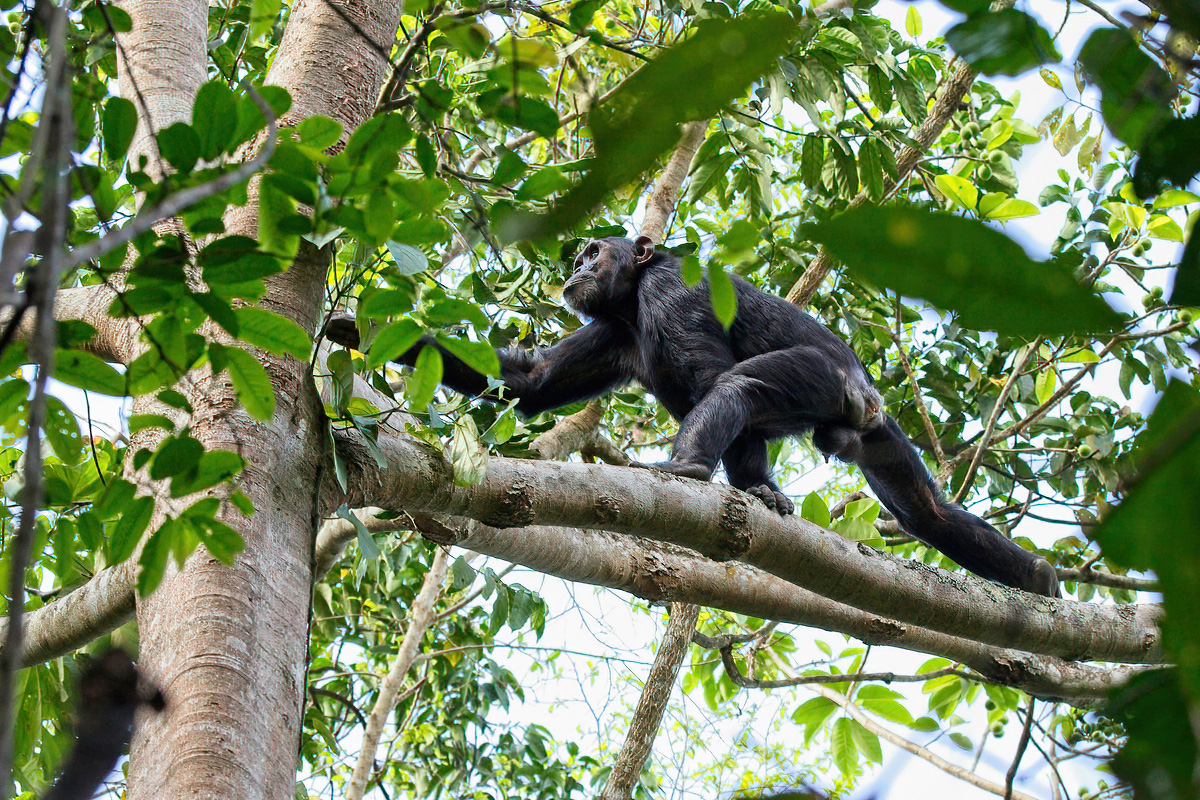 Jong Chimpanseemannetje - Budongo FR