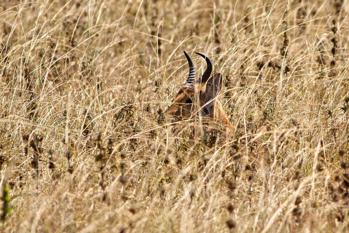 Mannelijke bohorrietbokken hebben kenmerkende, naar voren gebogen hoorns - Akagera NP (RW)