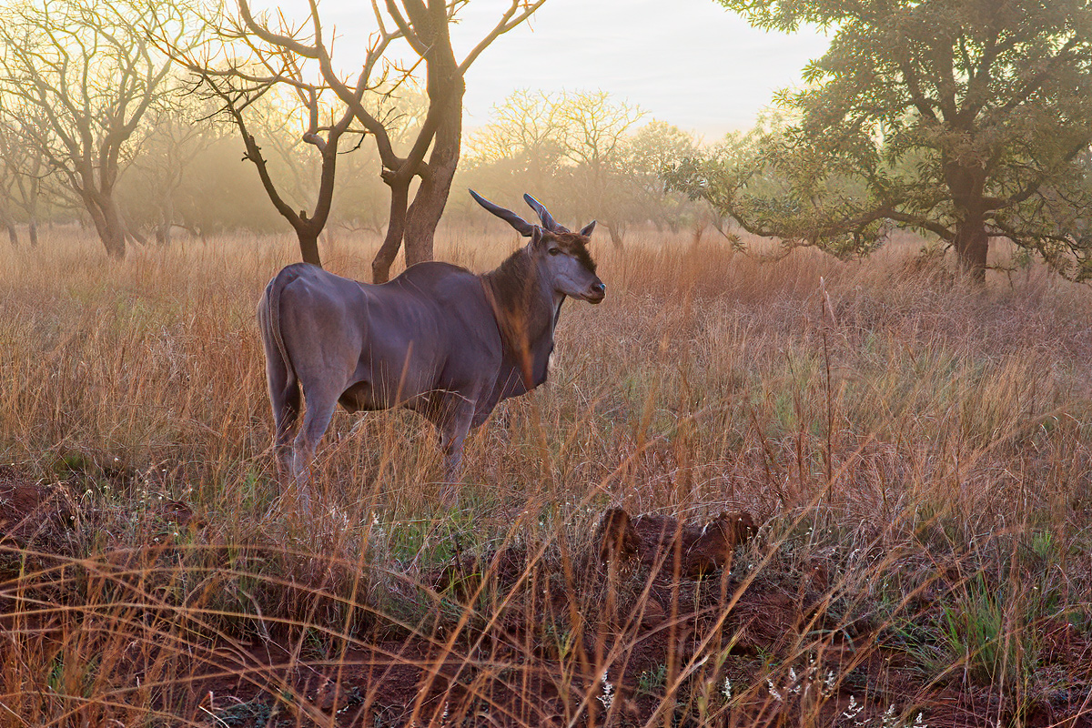 Mannelijke elandantilope - Pian Upe WR