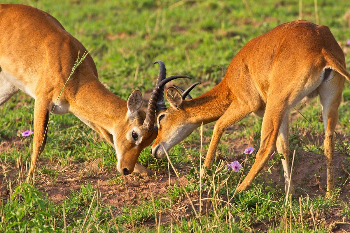 Mannelijke kobs verdedigen hun territorium fanatiek - Murchison Falls NP