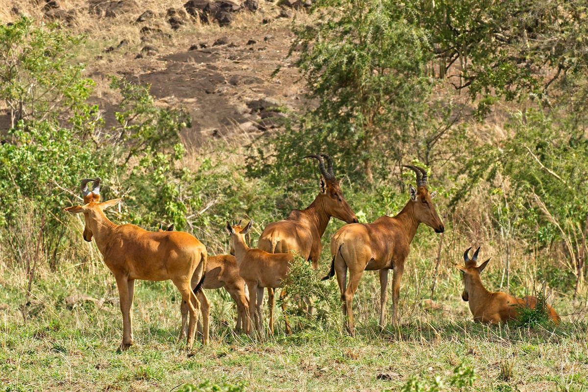 Op het heetst van de dag trekken Lelwel hartebeesten zich terug in de schaduw - Kidepo Valley NP