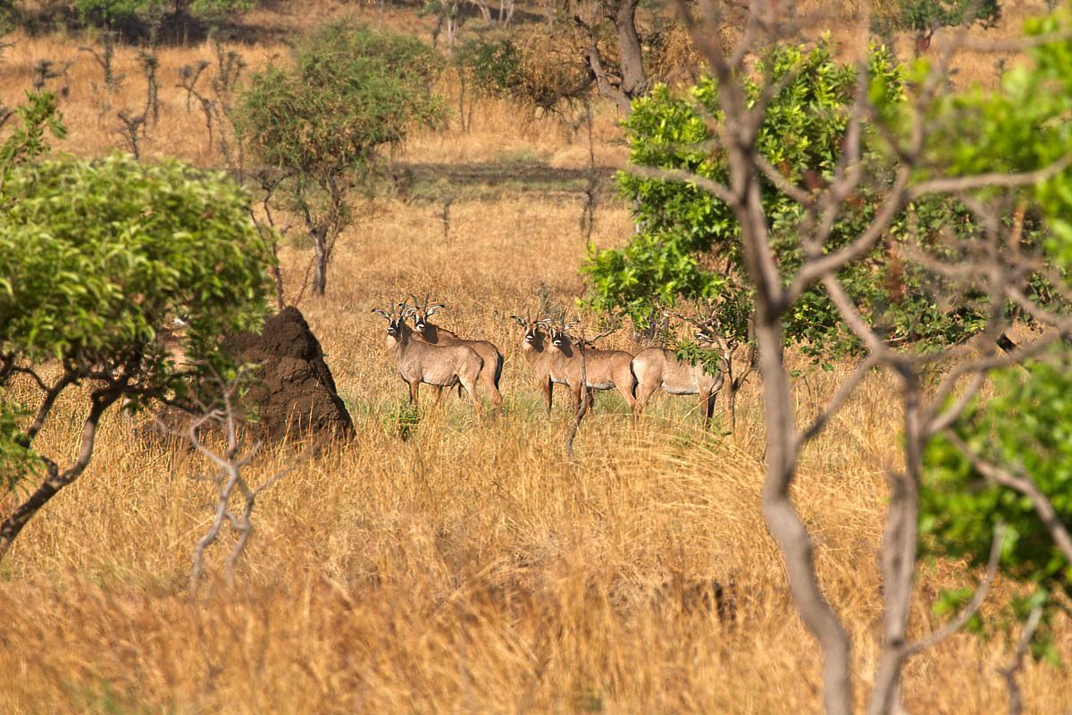 Roanantilopen zijn van nature schuw - Pian Upe WR