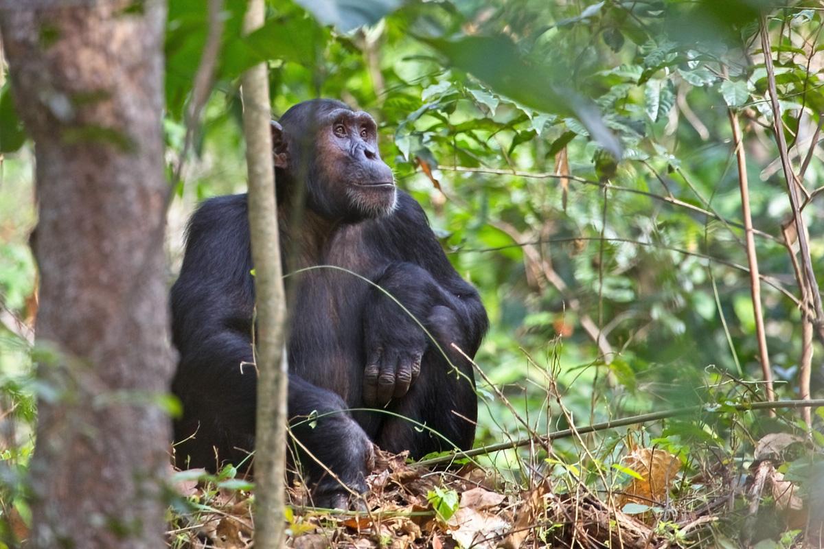 Volwassen chimpanseeman - Budongo FR.