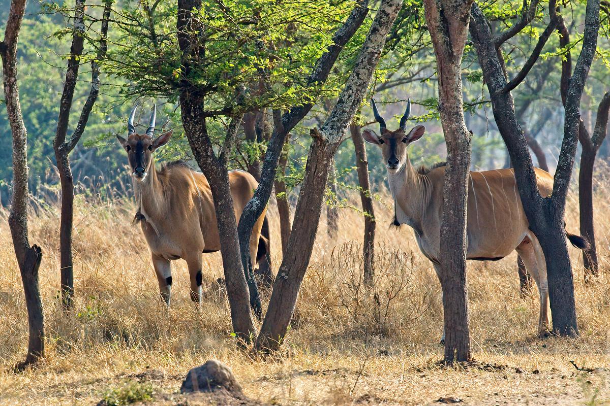 Vrouwelijke elandantilopen - Lake Mburo NP